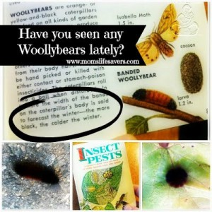 Throwback Thursday – Woollybears